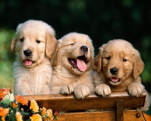 Golden Retrievers !