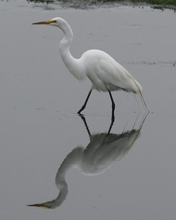 Great Egret | by no ceiling