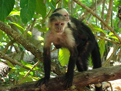White faced capuchin monkey at Cahuita