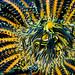 Crinoid clingfish (Discotrema monogrammum) by Arne Kuilman