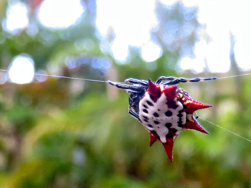 Spiny Orb-Weaver 20170223