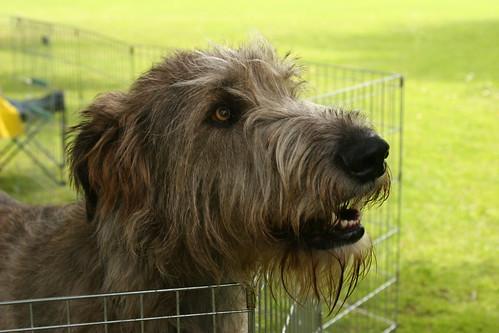 Irish Wolfhound Show 003