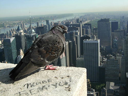 New York Pigeon | by adrian, acediscovery