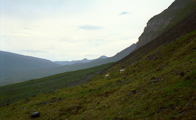 Alaska,ANWR,Canning river,Big White Horn Sheep