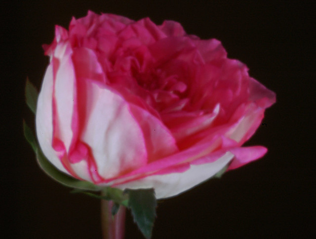 rose - digital pinhole