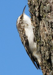 Brown Creeper ... landed next to me today | by Vicki's Nature