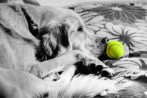 goldenretriever ball cutout hobbes hdr highdynamicrange ©tylerknottgregson