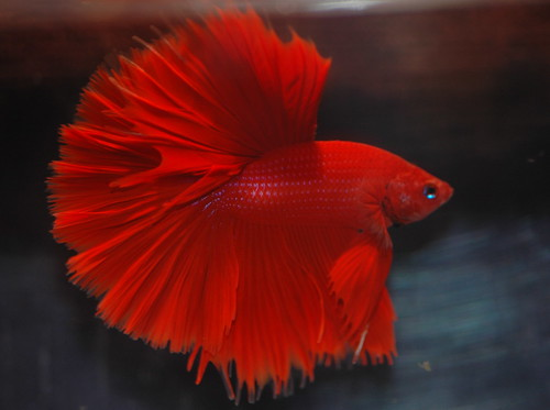 Betta fish types | Aquariadise