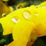 パンジー water drop on pansy