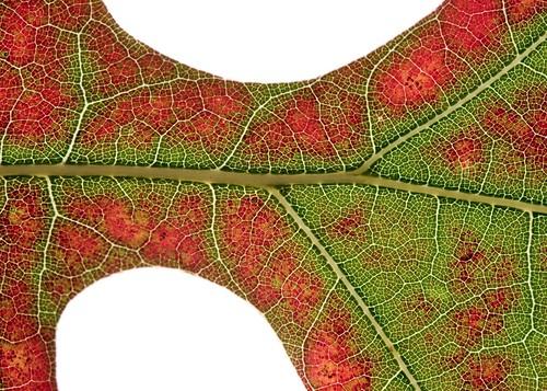 leaf oak raw tripod 2007 lightroom myeverydaylife canoneos5d canonef100mmf28macrousm leafflatmacro