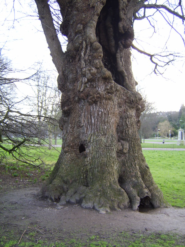Ulmus minor var. vulgaris (English Elm), Coronation Garden, Preston Park, Brighton, 2007 (2)