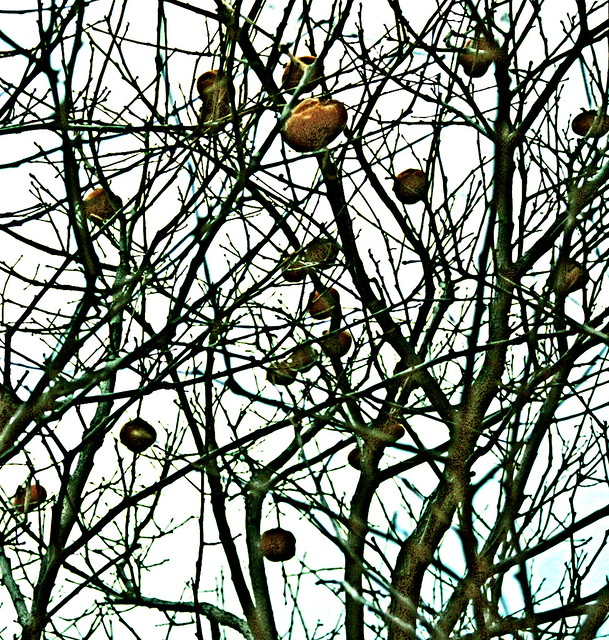 Dave's Persimmons in Winter 2
