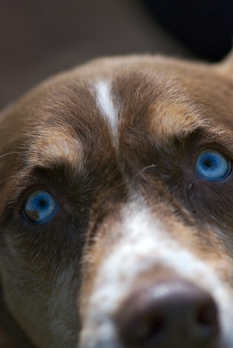 dog eye face look fur nose nikon play view blueeyes stare gaze d80 105mmf28gvrmicro