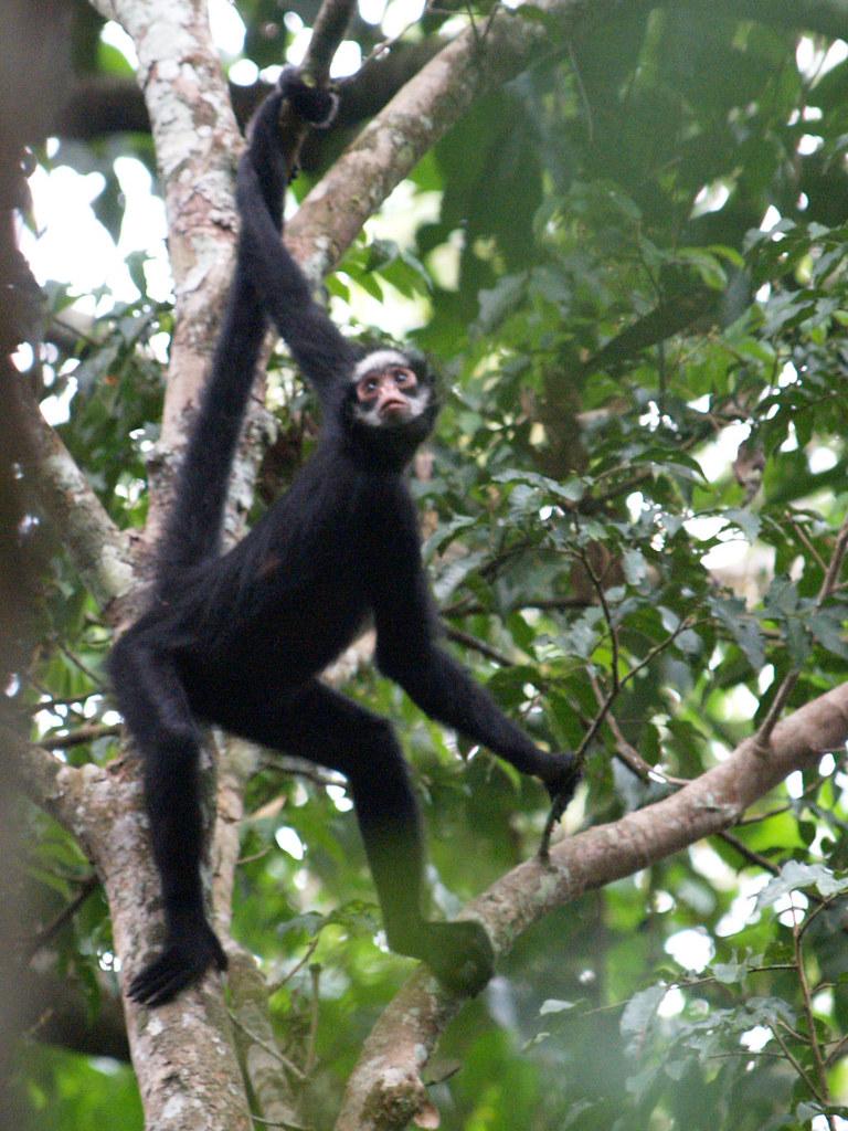 white-whiskered spider monkey (Ateles marginatus)