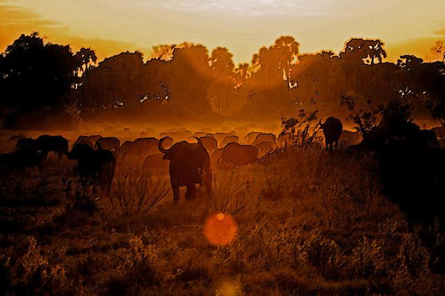 Büffel im Abendrot