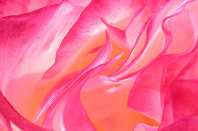 Silk Petals - Double Delight Rose Macro