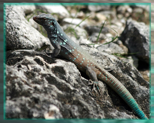 animals caribbean lizards bonaire