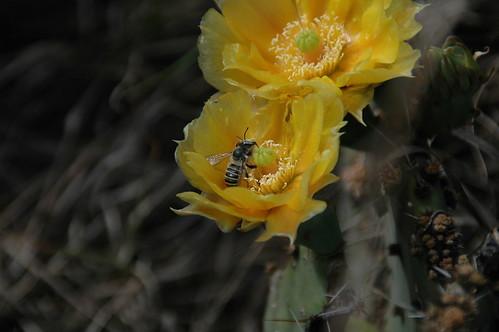 cactus-bee1