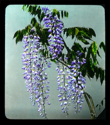 WISTERIA BLOSSOMS --  Portrait of a Flower in Old Japan | by Okinawa Soba (Rob)