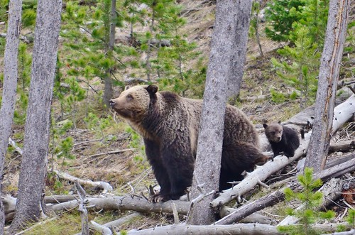 Grizzly Bear with Cub (Yellowstone) | by USFWS Mountain Prairie