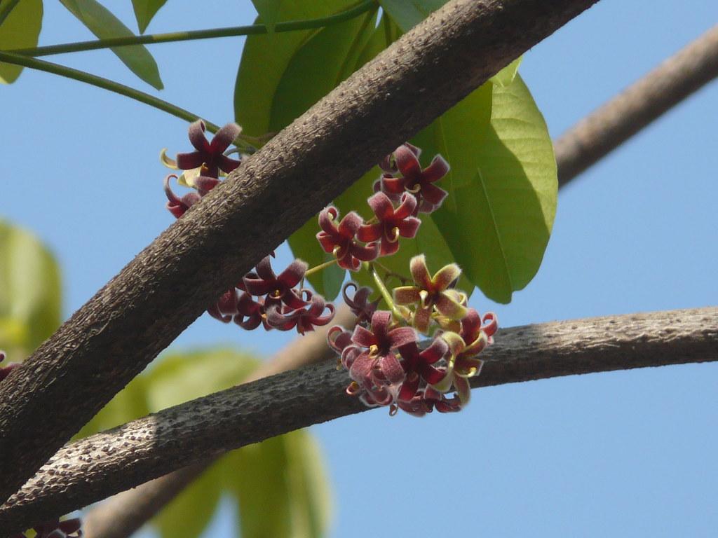 Jungli Badam (Bengali: জংগলী বাদাম) | Sterculiaceae (cacao