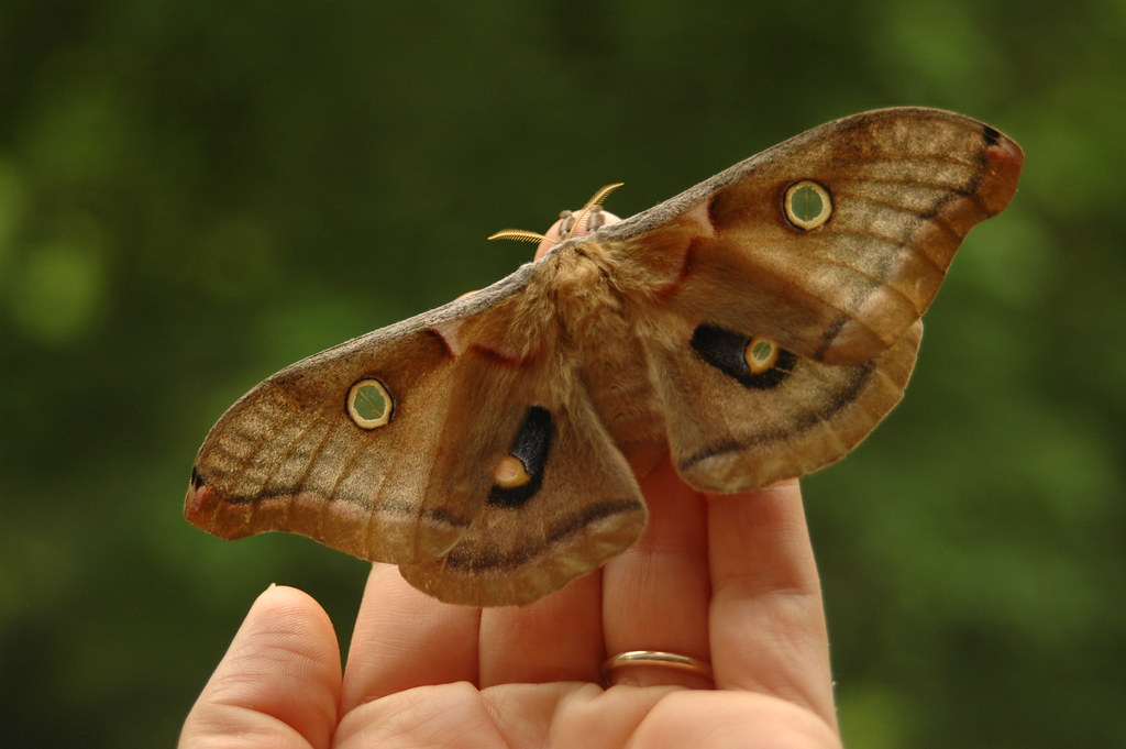 Polyphemus Moth | This is a female Polyphemus giant silk ...