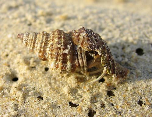 Hermit Crab | by wildxplorer