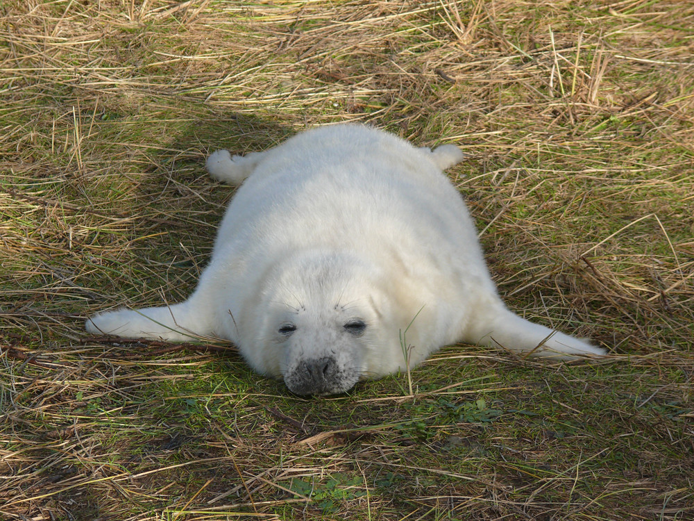 Tired Seal | This little seal pup looked worn out! It's hard… | Flickr