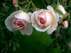 roses, 7 juillet 2005