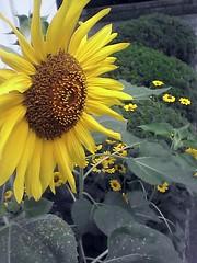 yellow life