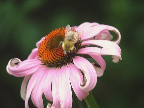 lone bumblebee