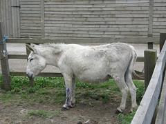 Toffee - Ferny Hill Farm's Donkey