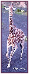 Giraffe at Oregon Zoo Running Toward Me