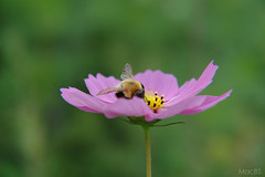Cosmos at early summer