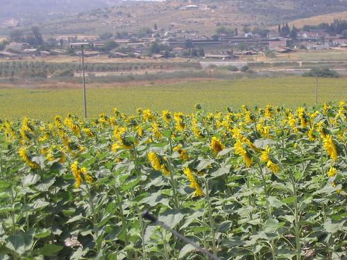 20050526_sunflowers0015