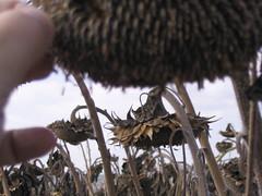 20050718_sunflowers0008