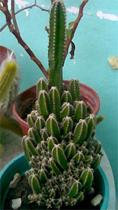 Dirty Cactus