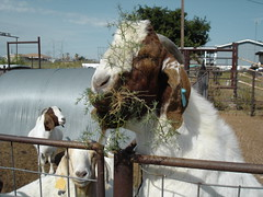 Goat eating Tumbleweed