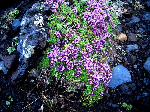purpleflowersdyerholler