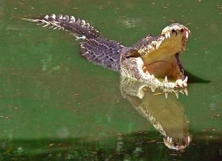Salt water Crocodile   by Pandiyan