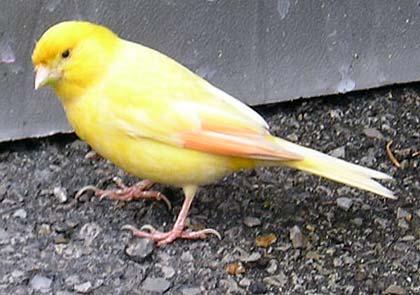 YellowBird2