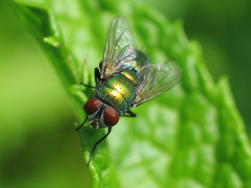 Another Green Bottle Fly