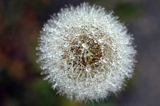 Dandelion Dew | by tarotastic
