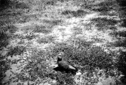 bulgarian pigeon