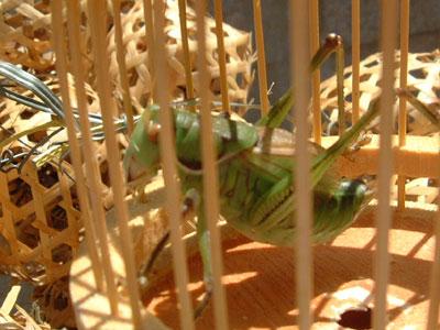 crickets 05