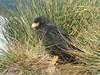 Adult Striated Caracara (Johnny Rook), Falkland Islands by Niquinho
