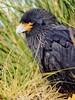 Striated Caracara (Johnny Rook), Falkland Islands by Niquinho