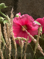 rose tremiere, 29 juillet 2005