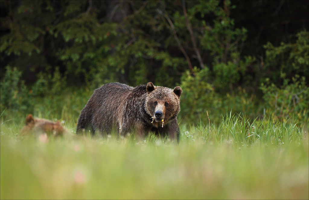 Mother Grizzly bear and Cub
