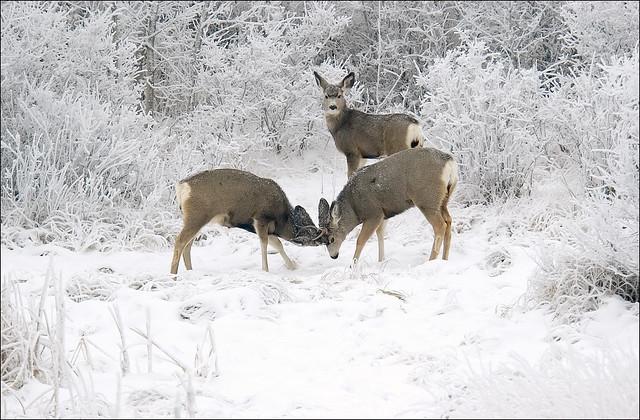Mule Deer fighting for Doe